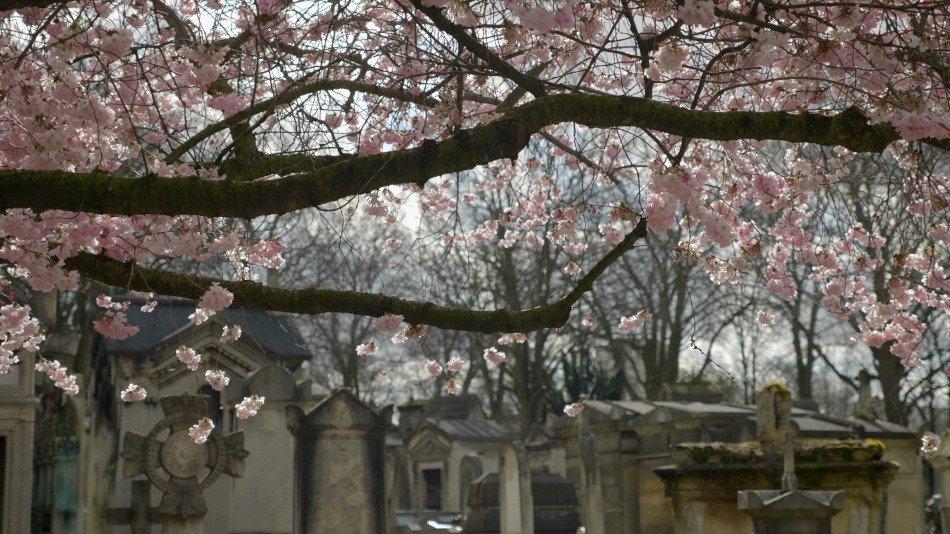 FUNECAP GROUPE Eternel jardin le cimetière du Père Lachaise cerisier japonais en fleurs