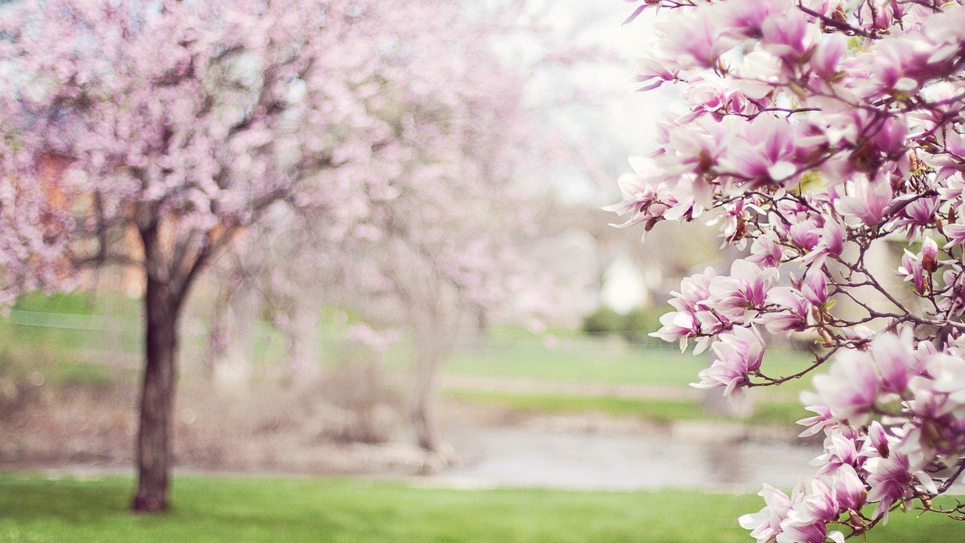 Photo d'arbres magnolia