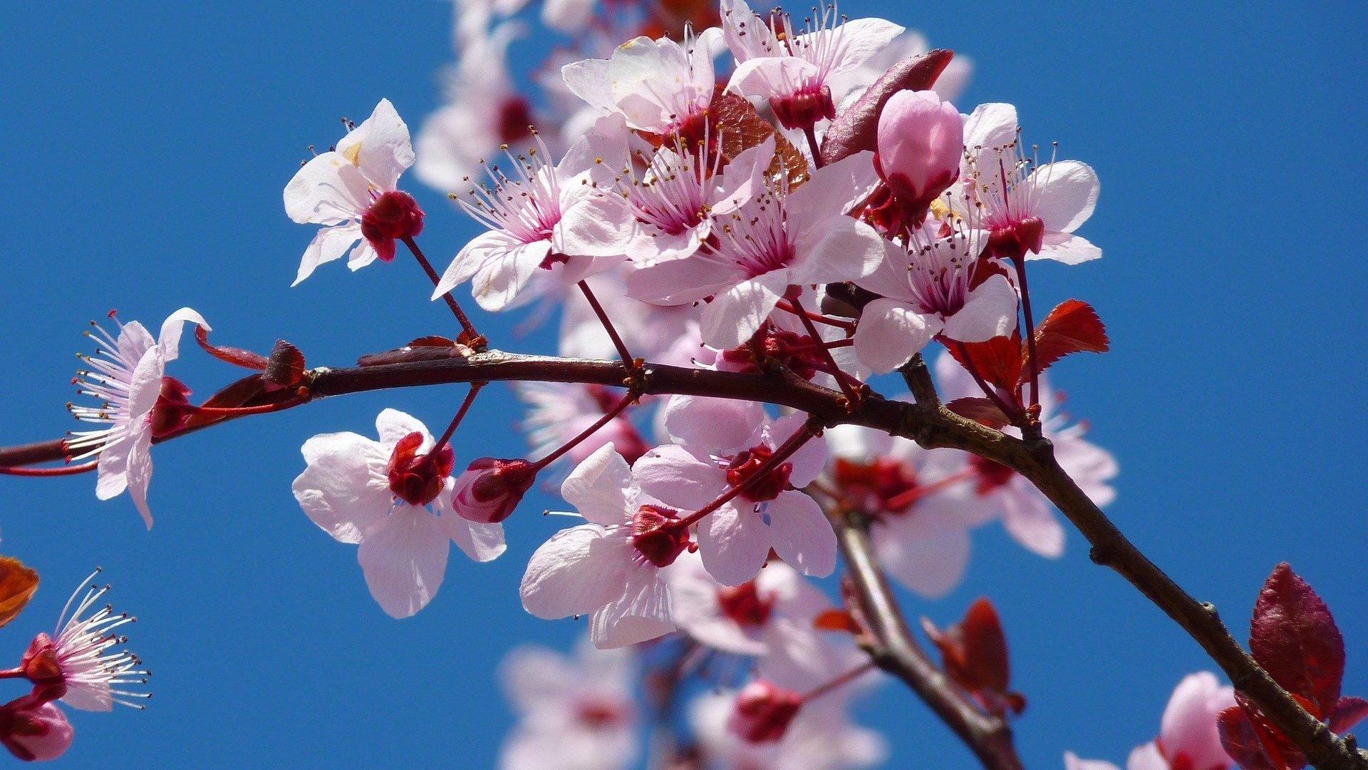 FUNECAP-GROUPE-Ceriser-japonais-en-fleurs